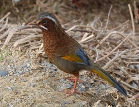 Garrulax morrisonianus
