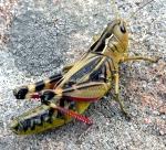 Arcyptère bariolée - Arcyptera fusca