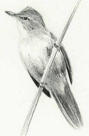 Rousserolle turdoïde - Acrocephalus arundinaceus
