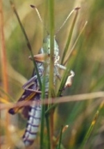 Gomphocère des alpages - Gomphocerus sybiricus