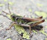 Gomphocère des moraines - Aeropedellus variegatus