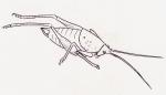 Méconème à bouclier - Cyrtapsis scutatus