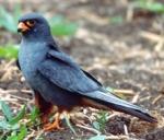 Faucon kobez - Falco vespertinus