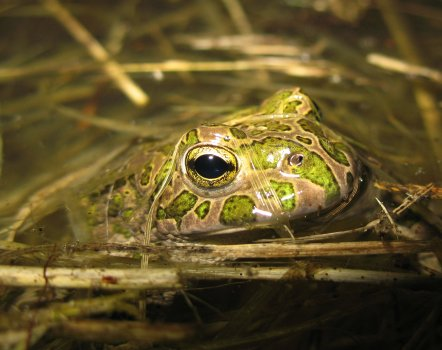 Crapaud vert (Bufo viridis)