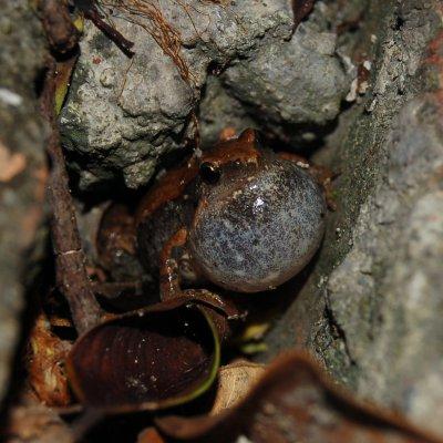 Microhyla ornata