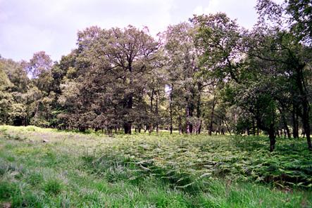 Chênaie à bouleaux : un des habitats du Pipit des arbres