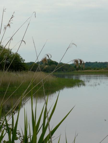 Roselière de l'étang de Beauregard