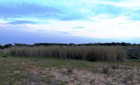Roselière dans la réserve de Selinunte