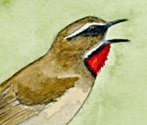 Calliope sibérienne ou Rossignol de Sibérie (Luscinia calliope)
