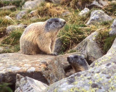 Marmottes (Marmotta marmotta)