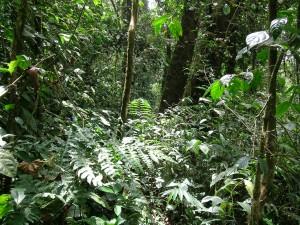 Forêt au Mont Kupé (Guyane)